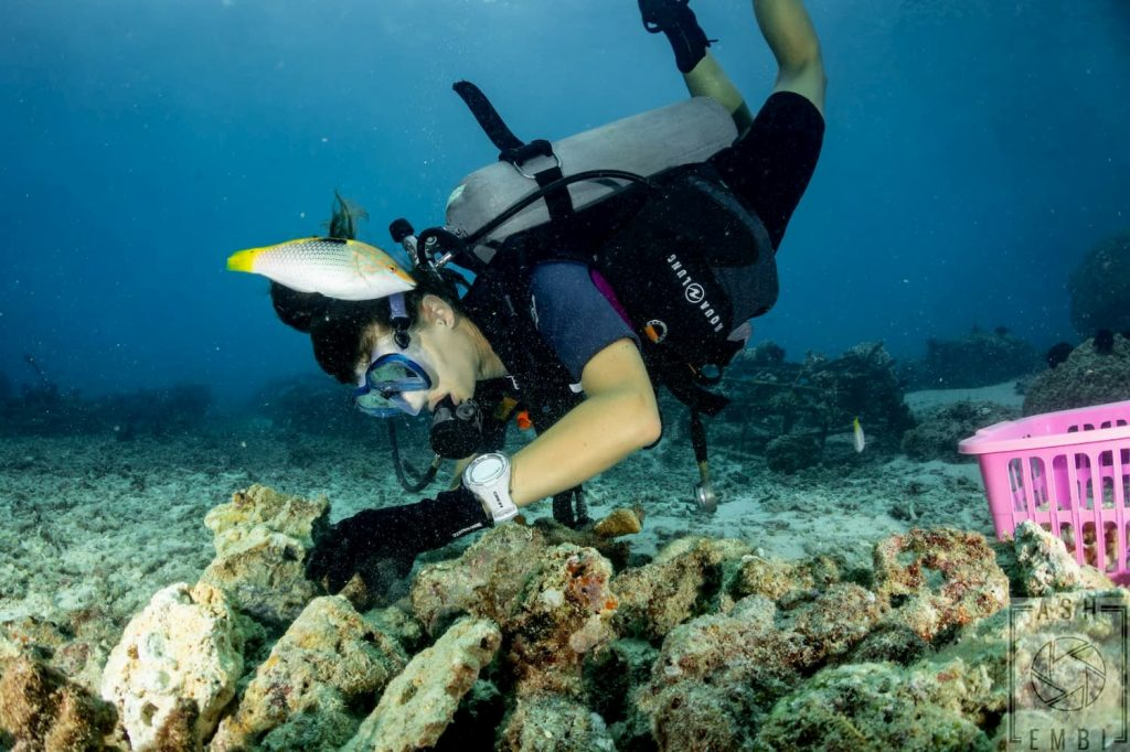 diver, being assisted by wrasse while placing propagated corals to the nursery