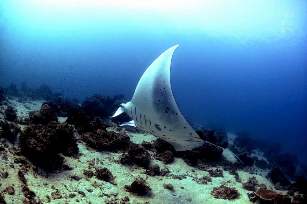 Manta ray feeding on a plankton