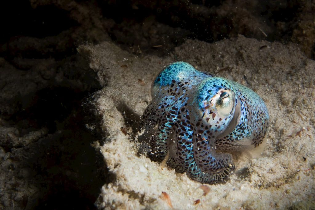 bobtail squid on a night dive