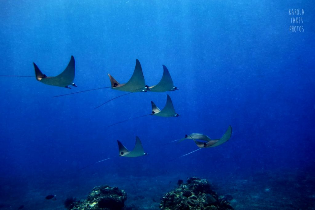mobula reys or devil rays