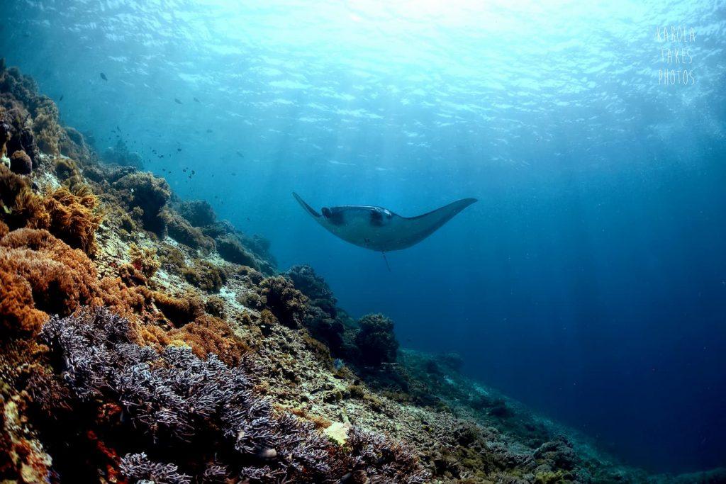 Manta ray Komodo Indonesia