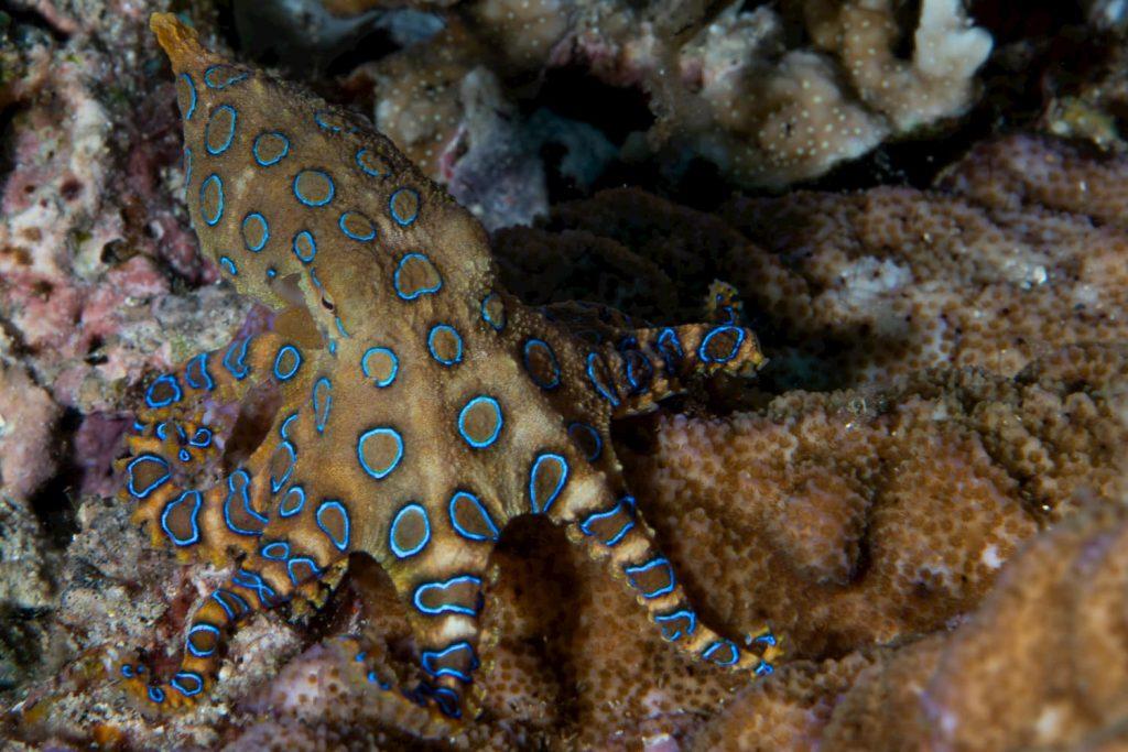 blue-ring-octopus