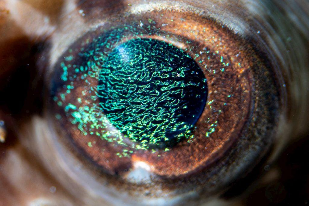 porcupine fish eye - macro diving