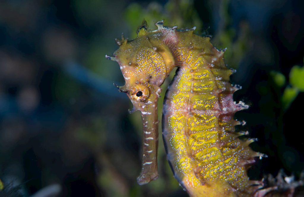 common yellow seahorse