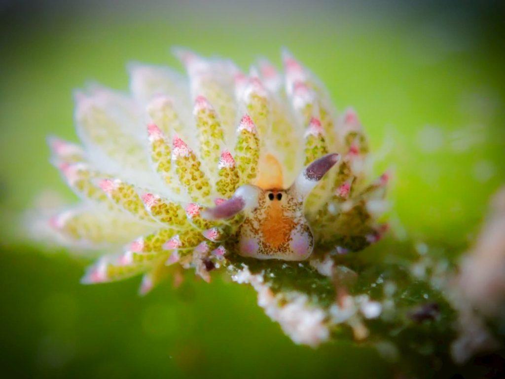 shoun the sheep nudibranch